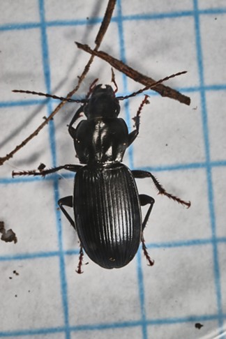 """Like Cruella DeVille: """"You come to realize you've seen her kind of eyes watchin' you from underneath a rock!""""  A pretty common ground beetle hereabouts. - ANTHONY WESTKAMPER"""