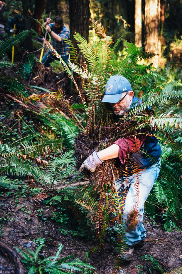 Tim Canning relocates a fern during trail maintenance day in Arcata Community Forest. - BEAU SAUNDERS