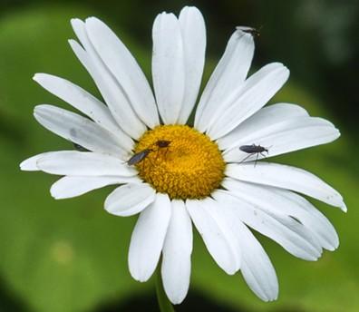 Black gnats on daisy. - ANTHONY WESTKAMPER