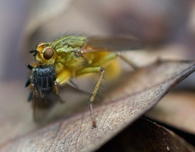 A dung fly dining on what looks to be a flesh fly. - ANTHONY WESTKAMPER
