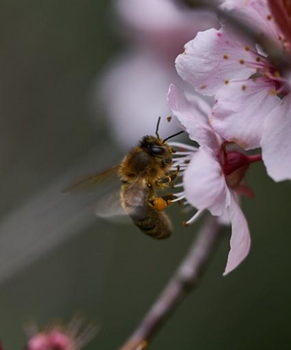 A honeybee (Apis mellifera) on a blossom. - ANTHONY WESTKAMPER