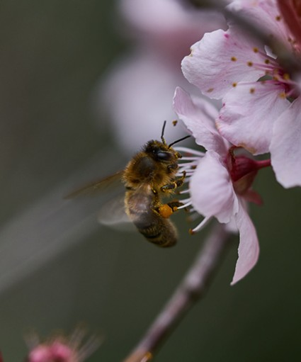 A honeybee (Apis mellifera) on a blossom. - ANTHONY WESTKAMPER