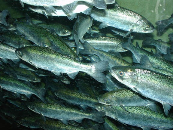 The Yurok Tribe's allotment of Chinook salmon this year equals about one fish for every 10 tribal members. - FILE