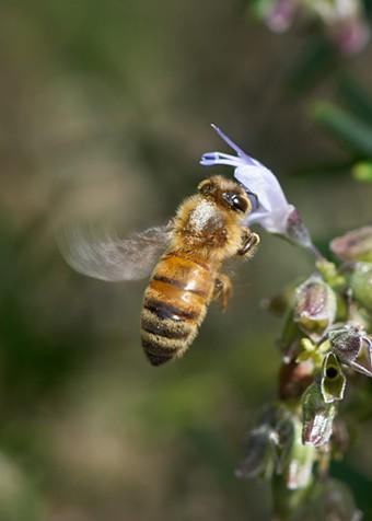 Honeybee showing marking on thorax. - ANTHONY WESTKAMPER