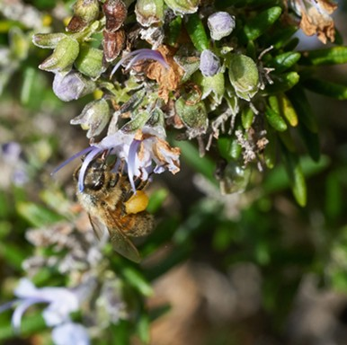 Honeybee showing marking and corbiculae. - ANTHONY WESTKAMPER