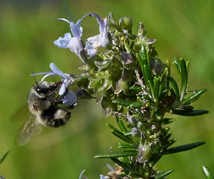 Hover feeding mining bee avoids anthers. - ANTHONY WESTKAMPER