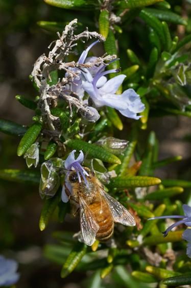 A pistil picking up pollen from a bee's back. - ANTHONY WESTKAMPER