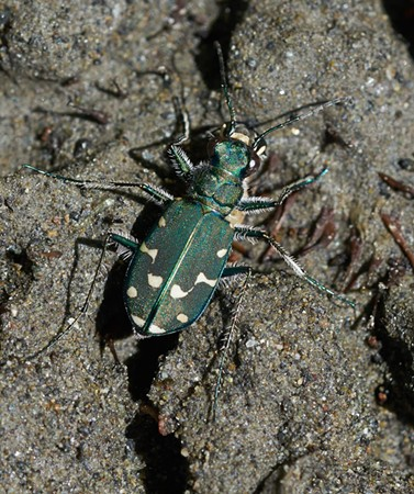 Blue/green tiger beetle. I'm not sure if this is a different species than the gray western tiger beetle (Cicindela oregona) or just a different color variant. - ANTHONY WESTKAMPER