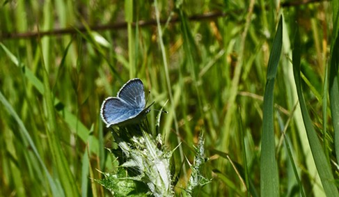 An echo blue, or Celastrina echo. Its wings are about the size of a thumbnail. - ANTHONY WESTKAMPER