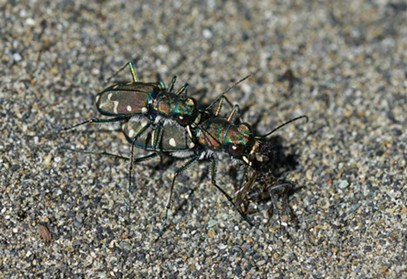 The female tiger beetle multitasks, dining on a fly. - ANTHONY WESTKAMPER