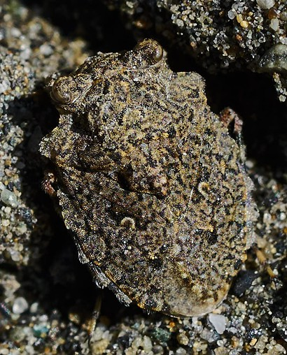 The aptly named toad bug. - ANTHONY WESTKAMPER