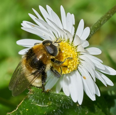 A honeybee mimic bulb fly on a lawn daisy. - ANTHONY WESTKAMPER