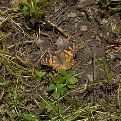 A painted lady butterfly in the backyard. - ANTHONY WESTKAMPER
