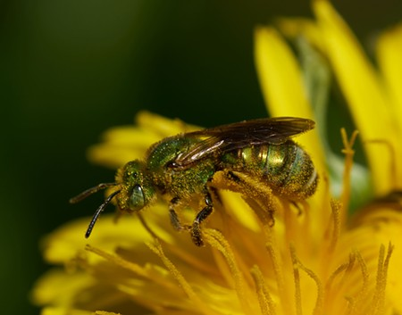 Halcitid bee (about 7 millimeters long) on a dandelion. - ANTHONY WESTKAMPER