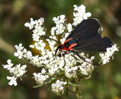 Adult Ctenuchid moth (white tipped ctenuchid). - ANTHONY WESTKAMPER