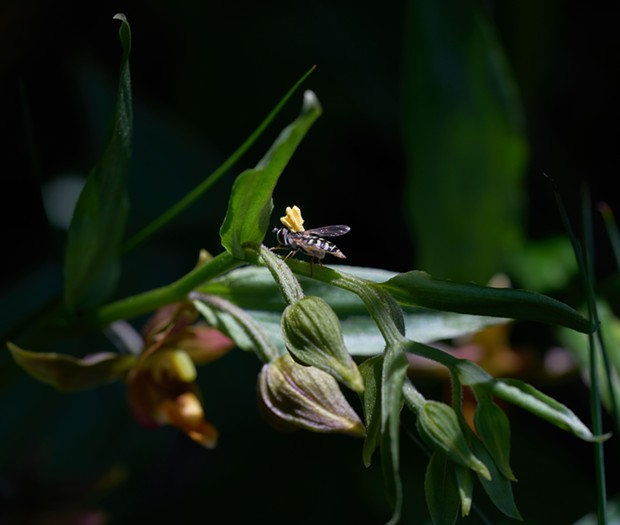 A hoverfly with pollinea stuck to its back. - ANTHONY WESTKAMPER