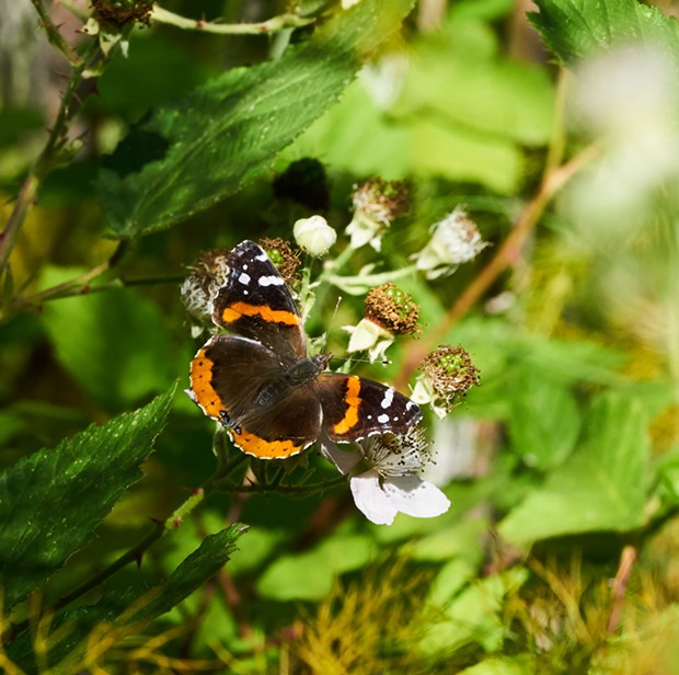 Red admiral on Himalaya berry flower. - ANTHONY WESTKAMPER