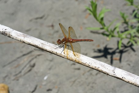 A Red Veined Meadowhawk. - ANTHONY WESTKAMPER