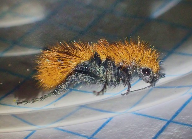 Cute little fuzzy velvet ant.  Don't let her looks fool you.  She packs a wallop. - ANTHONY WESTKAMPER