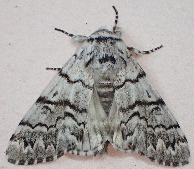 A nocturnal moth I believe to be Panthea virginarius portlandia or a close relative. - ANTHONY WESTKAMPER