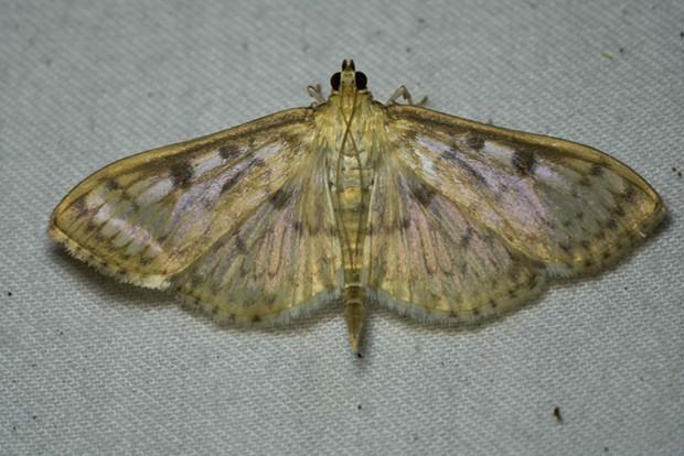 Genus Herpetogramma, nocturnal. - ANTHONY WESTKAMPER