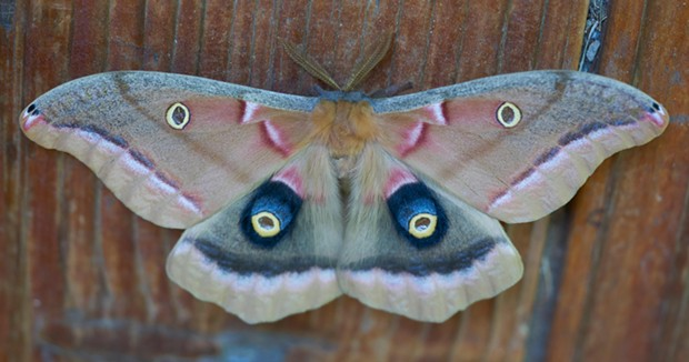 Polyphemus moth showing its rear wing eyespots. - ANTHONY WESTKAMPER