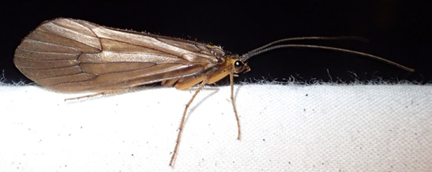 Large caddisfly with plain wings. - ANTHONY WESTKAMPER