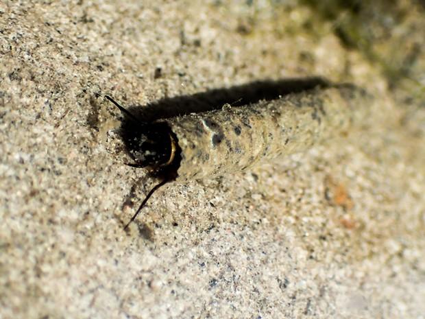 A caddisfly larva its its house of sand. - ANTHONY WESTKAMPER