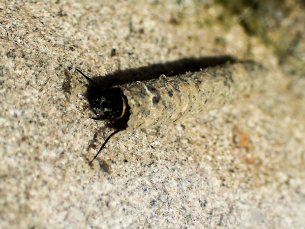 A caddisfly larva its its house of sand. - ANTHONY WESTKAMPER