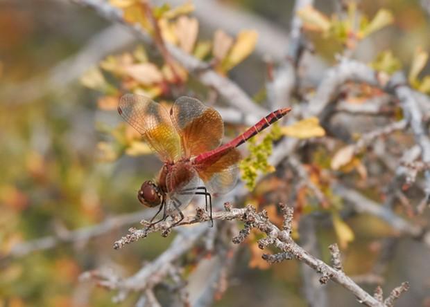 Band winged meadowhawk. - ANTHONY WESTKAMPER
