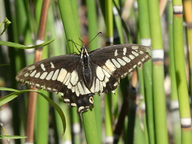 Anise swallowtail. - ANTHONY WESTKAMPER