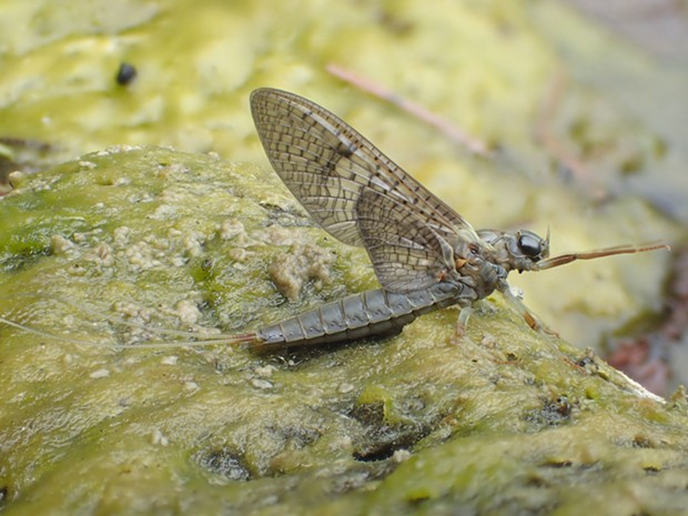 Adult mayfly getting ready to fly off to her destiny. - ANTHONY WESTKAMPER