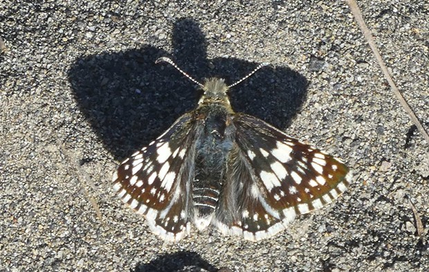 A common checkered skipper. - PHOTO BY ANTHONY WESTKAMPER