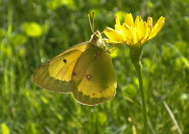 A clouded sulfur butterfly. - PHOTO BY ANTHONY WESTKAMPER
