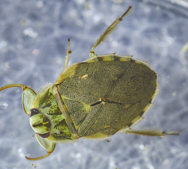Adult creeping water bug. - ANTHONY WESTKAMPER