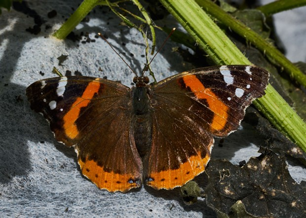 Red Admiral (Vanessa atalanta) photo taken back in summer at the College of the Redwoods' butterfly house. - PHOTO BY ANTHONY WESTKAMPER