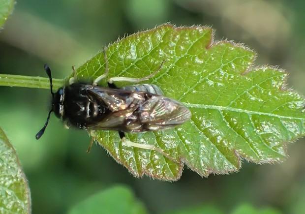 Sawfly. - PHOTO BY ANTHONY WESTKAMPER