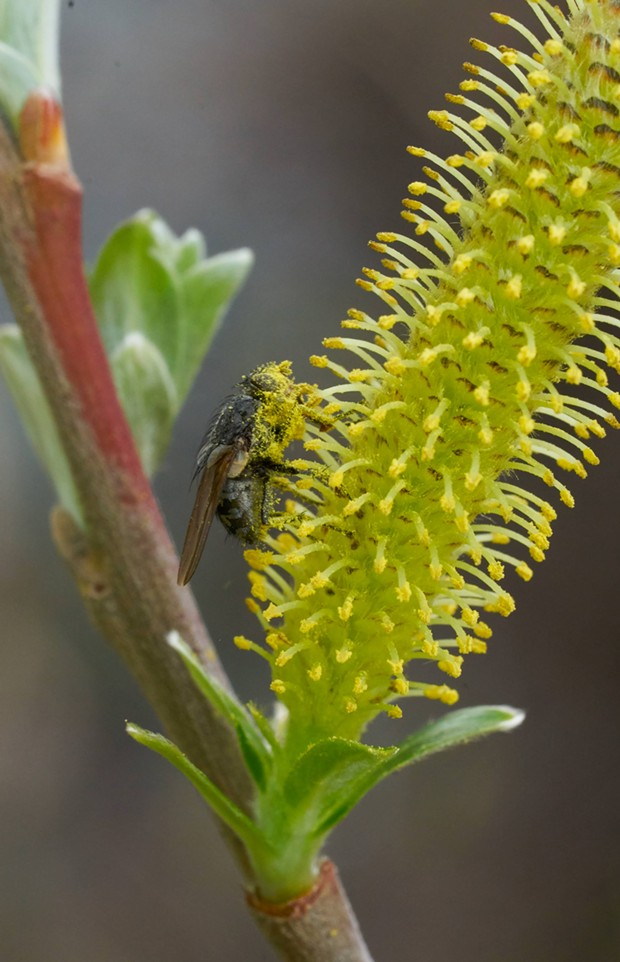 A fly providing pollination services for a willow. - PHOTO BY ANTHONY WESTKAMPER