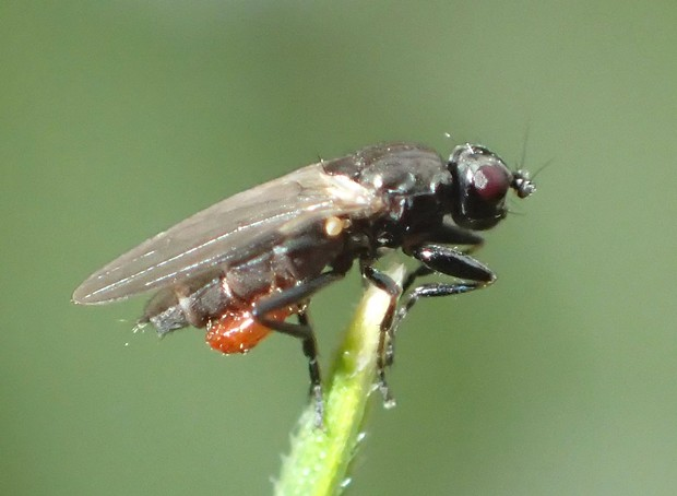 Fly not much bigger than a pin head parasitized by mite. - PHOTO BY ANTHONY WESTKAMPER
