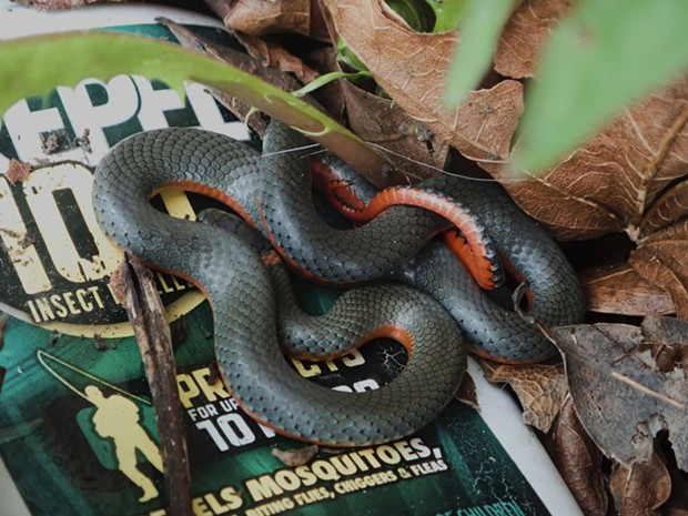 Northwestern ring-necked snake by my front porch. - PHOTO BY ANTHONY WESTKAMPER