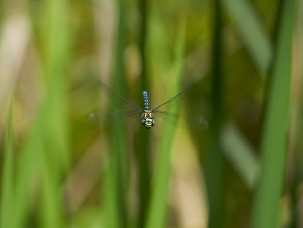 Blue eyed darner dragonfly captured while it partoled. - PHOTO BY ANTHONY WESTKAMPER