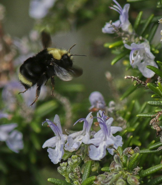 In-flight bumblebee. - PHOTO BY ANTHONY WESTKAMPER