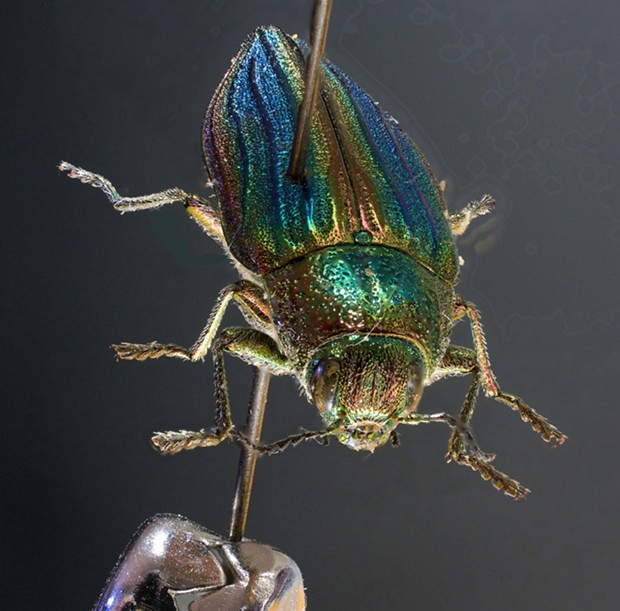A very dead golden bupesprid beetle. - PHOTO BY ANTHONY WESTKAMPER