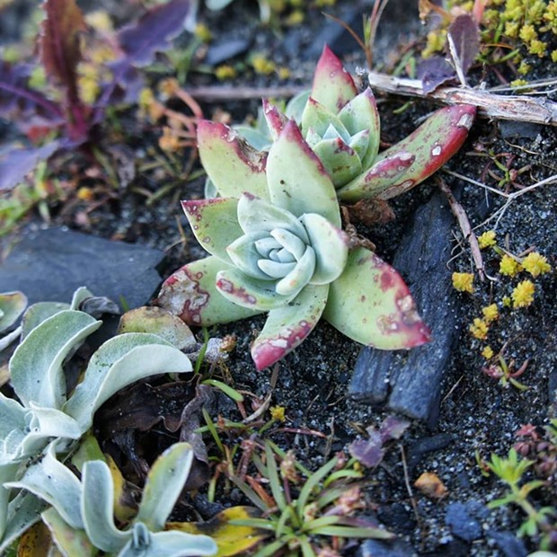 One of the pilfered succulents replanted. - CALIFORNIA STATE PARKS