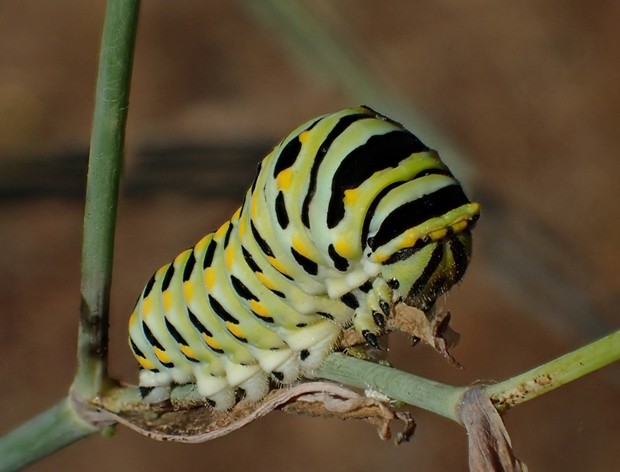 Full sized anise swallowtail larva. - PHOTO BY ANTHONY WESTKAMPER