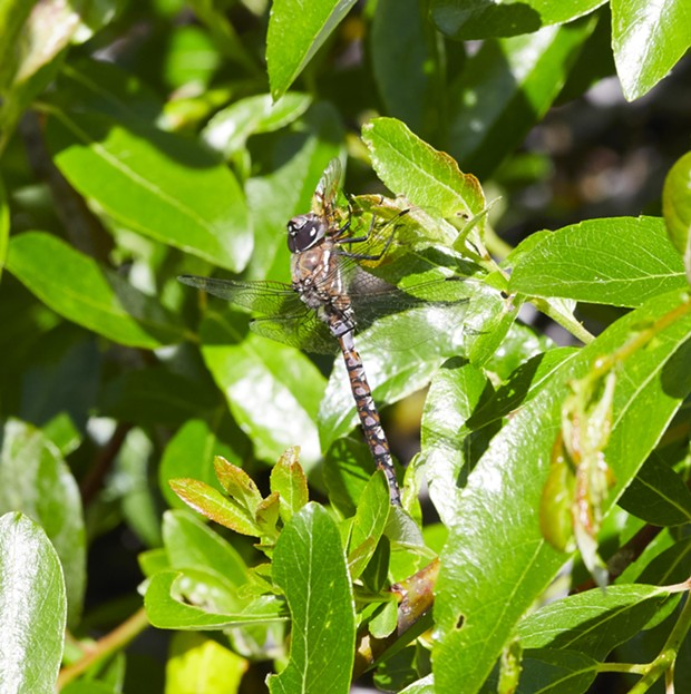 California darner doing a little dung fly dining. - PHOTO BY ANTHONY WESTKAMPER