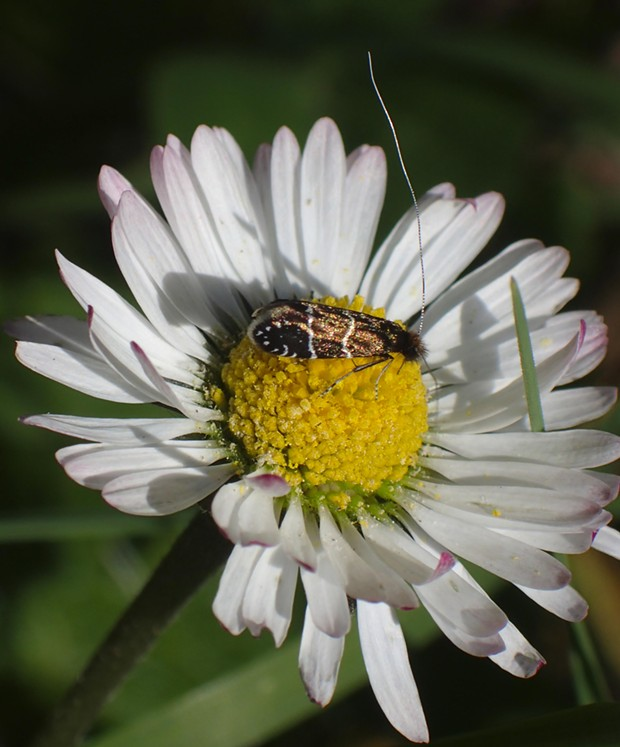 A tiny fairy moth on an English daisy. - PHOTO BY ANTHONY WESTKAMPER