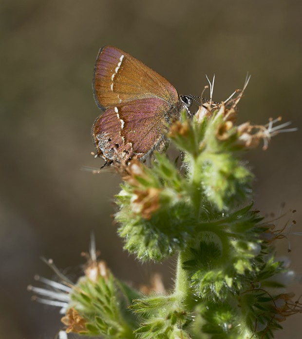 Juniper hairstreak butterfly. - PHOTO BY ANTHONY WESTKAMPER