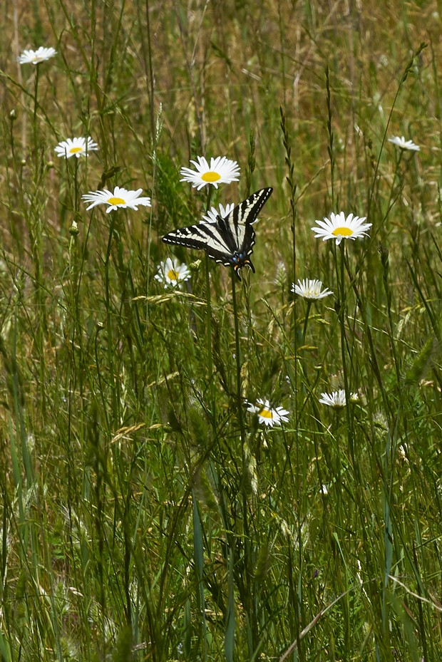 Pale swallowtail on daisies. - PHOTO BY ANTHONY WESTKAMPER