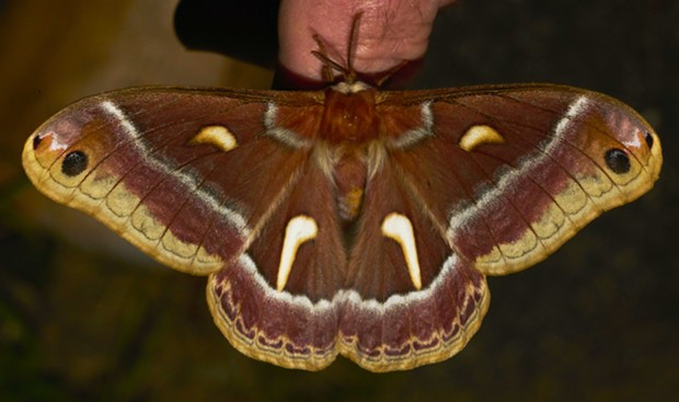 Ceanothus moth shows its 5-inch wingspan (Hyalophora euryalus). - PHOTO BY ANTHONY WESTKAMPER